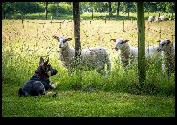 Hitch socializes with the sheep