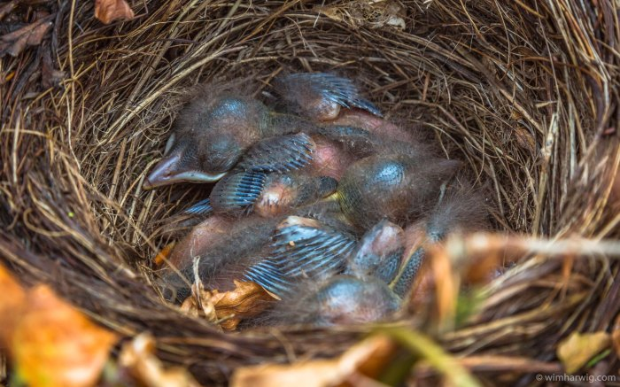 a nest with four young blackbirds