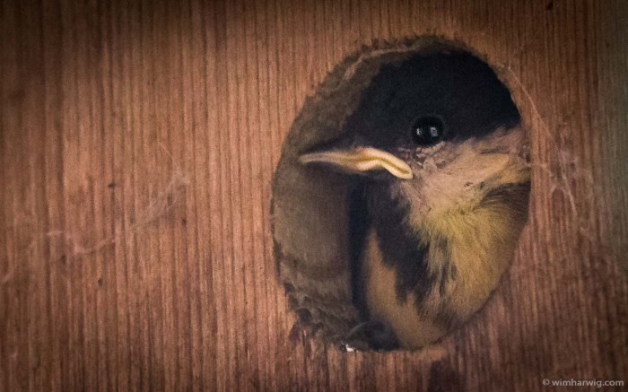 tit nest next to our kitchen window …
